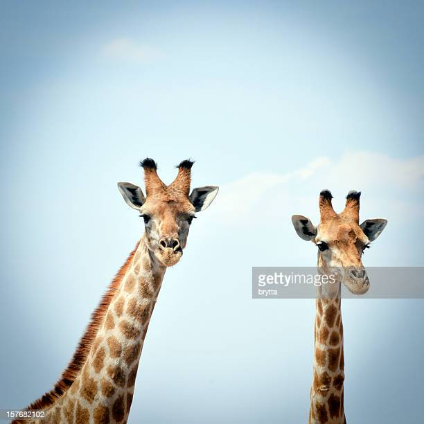 two curious giraffes against blue sky in  serengeti national park - giraffe stock pictures, royalty-free photos & images