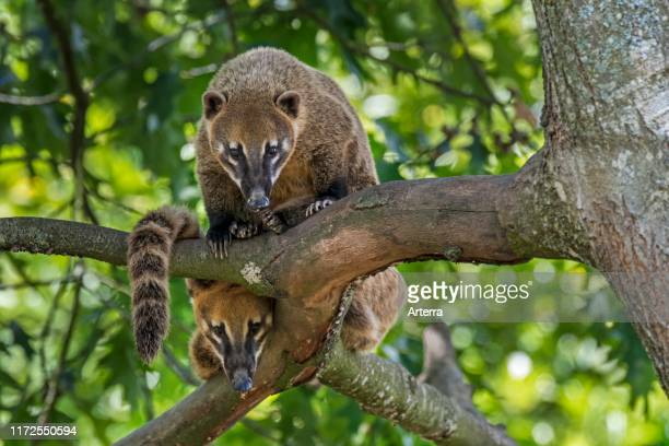 Two curious South American coatis / ringtailed coati looking down from tree native to forests of tropical South America