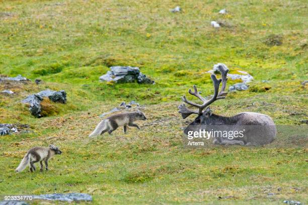 Two curious young Arctic foxes white fox polar fox snow fox meeting reindeer on the tundra in summer