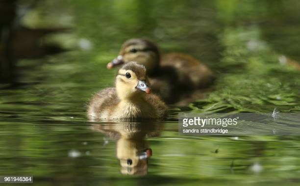 two cute baby mandarin duckling (aix galericulata) swimming in a lake searching for food - canard photos et images de collection