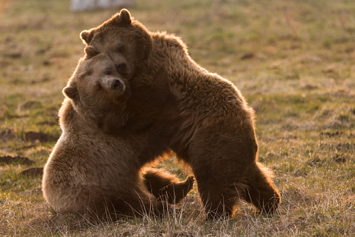 Two cute bears cuddle together 517803020