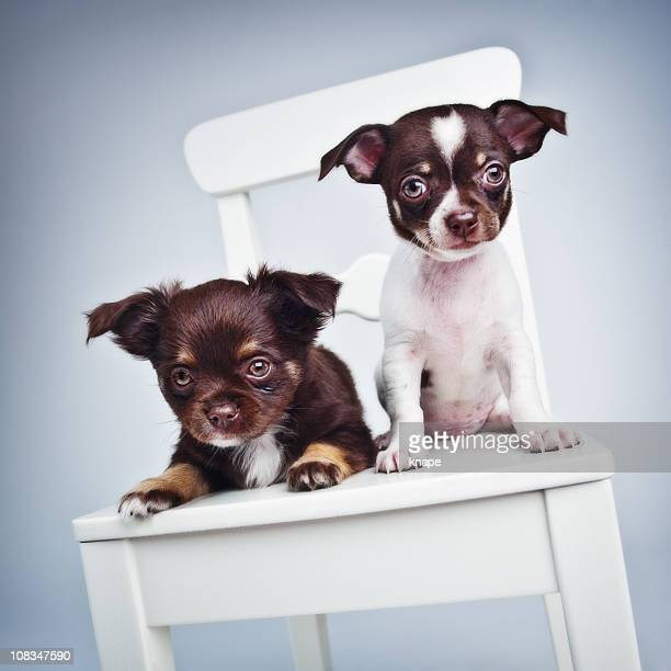 two cute chihuahua puppies - long haired chihuahua stock photos and pictures