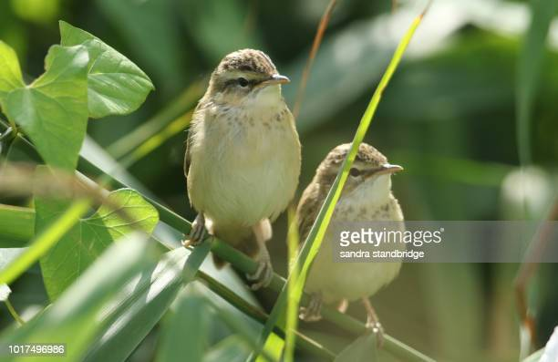 two cute fledgling sedge warbler (acrocephalus schoenobaenus) perching on a reed waiting for their parents to come back and feed them. - warbler stock pictures, royalty-free photos & images