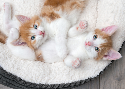 Two cute kittens in a fluffy white bed 938787092