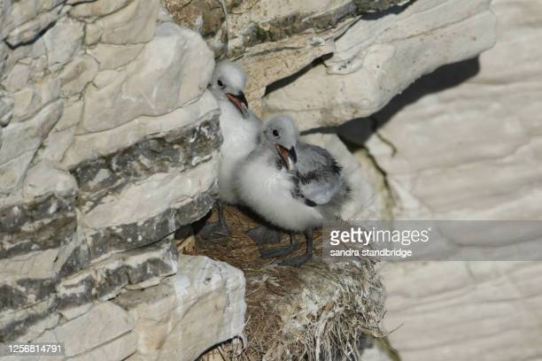 two cute kittiwake chicks ( rissa tridactyla) standing on their nest on the cliff face in yorkshire. - bird's nest stock pictures, royalty-free photos & images