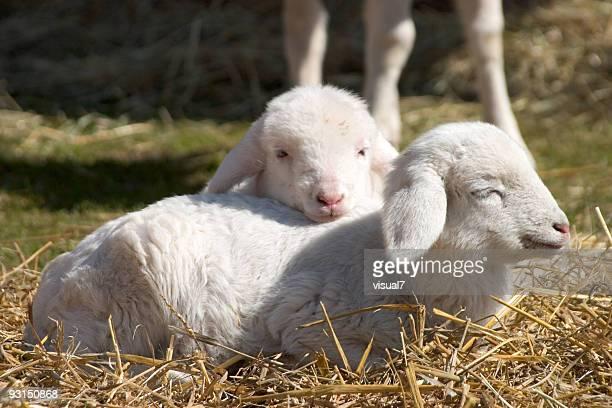 Dos Monada lambs de paja