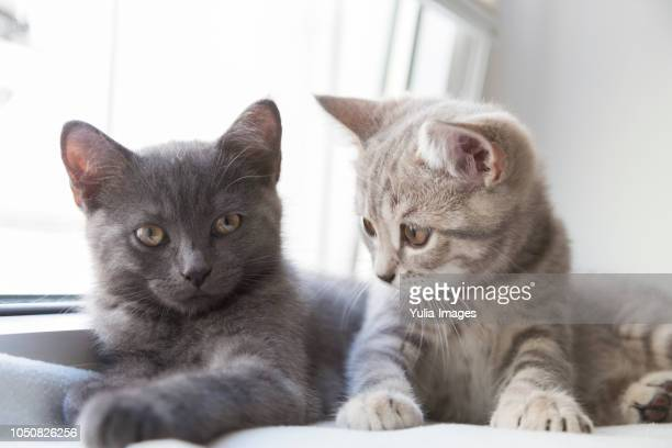 two cute little british shorthair kittens - two animals stock pictures, royalty-free photos & images