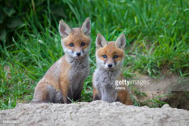 Two cute red fox cubs / kits sitting at entrance of den in meadow in spring