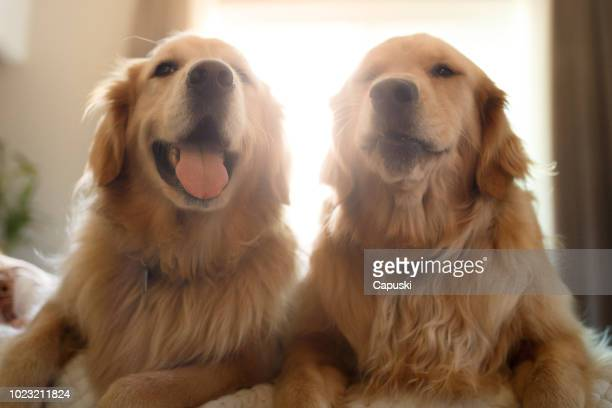 Two cute smiling golden retriever dogs