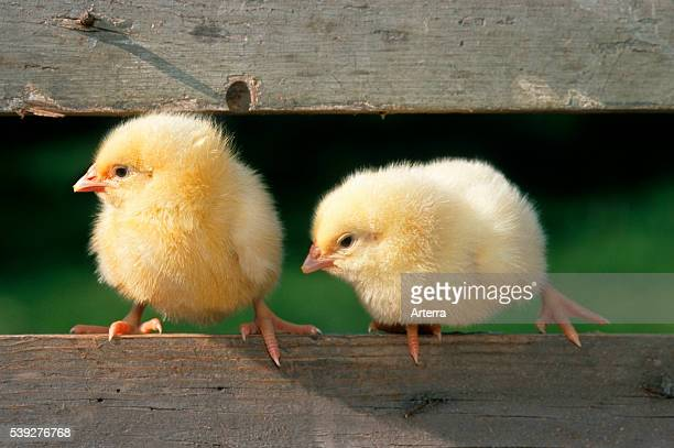 Two cute yellow chicks sitting on fence at chicken farm at Easter
