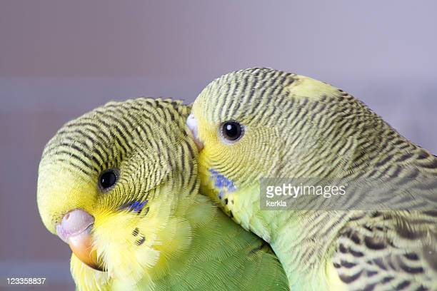 Two cute young budgies