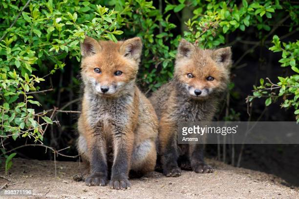 Two cute young red foxes emerging from thicket in spring