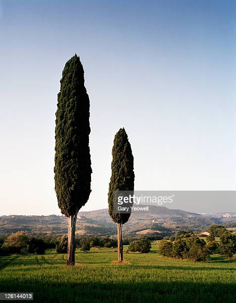 two cypress trees in the landscape - yeowell foto e immagini stock