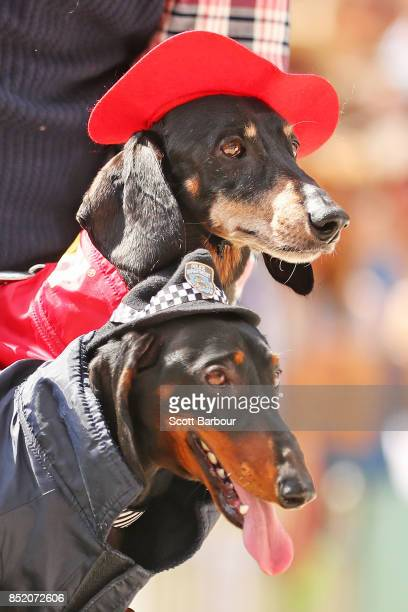 Two dachshunds dressed as a fireman and a policeman compete in The Best Dressed Dachshund Costume Parade during the annual Teckelrennen Hophaus...