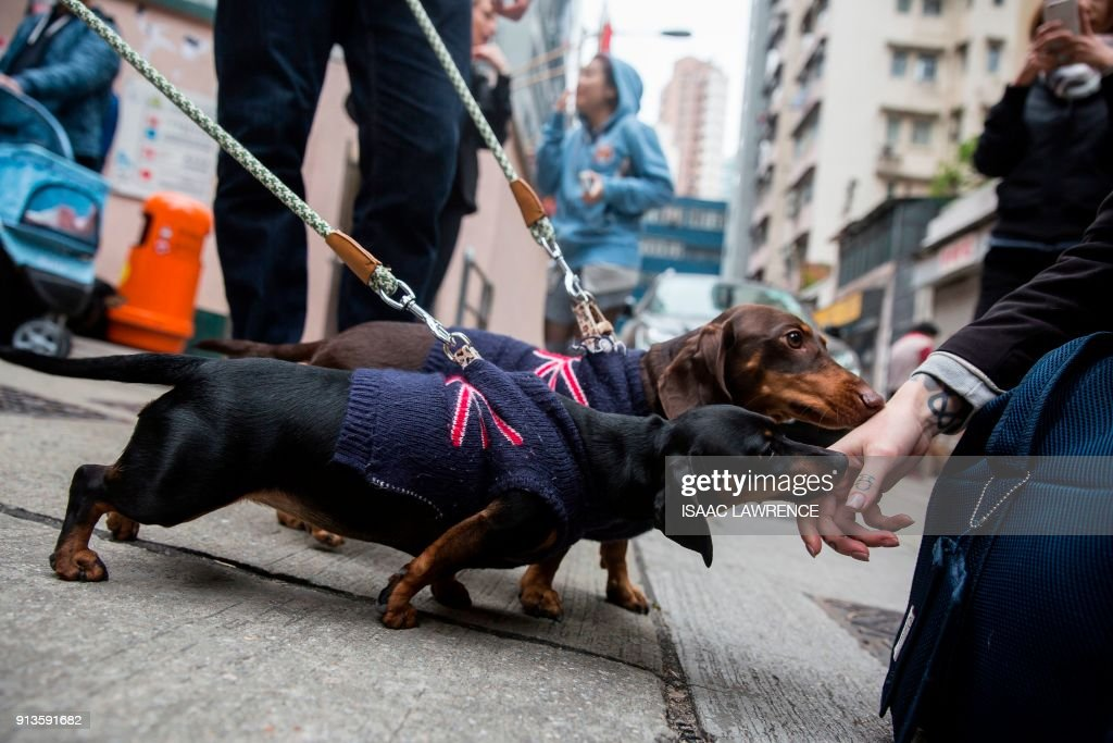 Two dachshunds (C) take part in the city's first 'Sausage Walk' in Hong Kong on February 3, 2018. In a city that likes to dress up its dogs, 50 dachshunds gathered in Hong Kong on February 3 wearing everything from patterned winter jumpers to dapper tweed. /