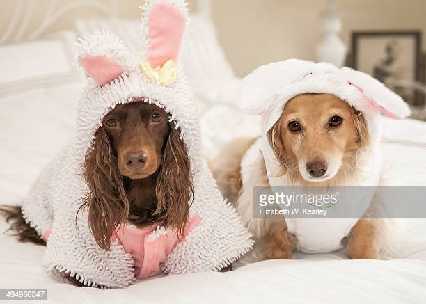 two dachshunds wearing rabbit costumes. - long haired dachshund stock photos and pictures
