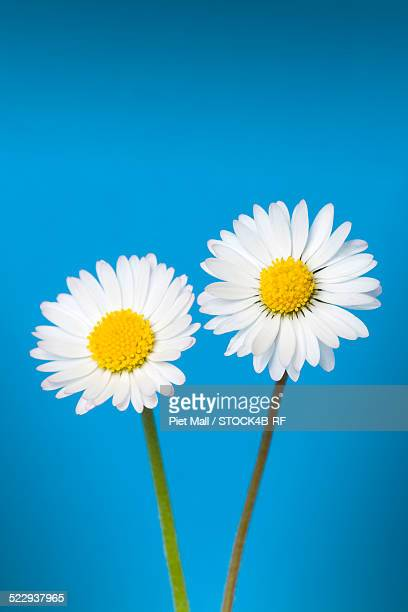 Two daisies on blue background