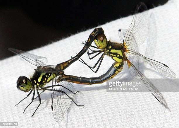 Two damselflies, often mistaken with dragonflys perform their love dance 16 August 2005 in Zhukovsky. Dragonflies and damselflies belong to the...