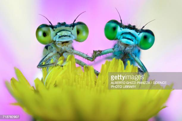 Two damselflies on wild flower