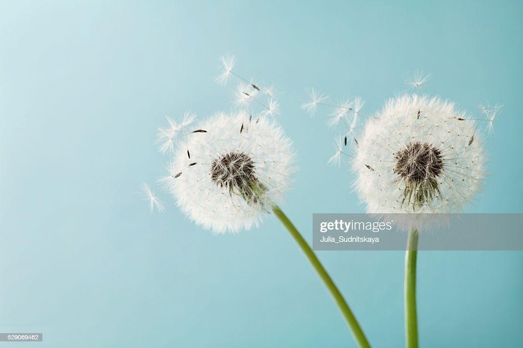 Two dandelion or taraxacum flowers for your design, macro