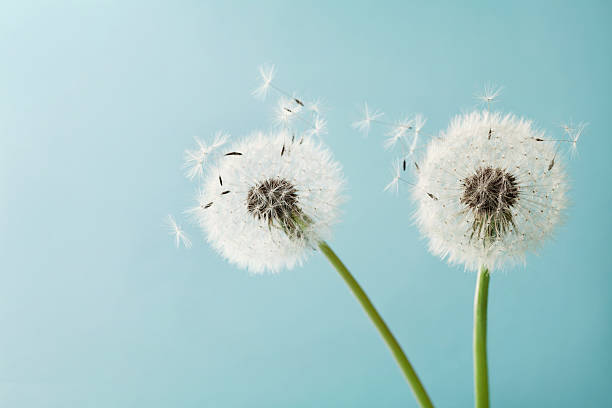 Two dandelion or taraxacum flowers for your design, macro