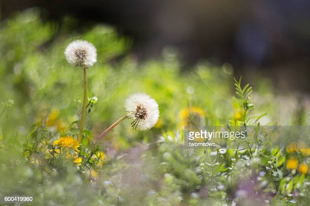 two dandelions on meadow grassland. - uncultivated stock pictures, royalty-free photos & images