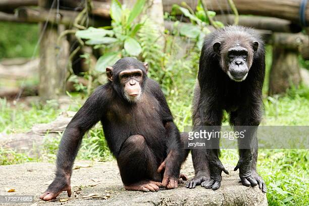 Two dark brown chimpanzees enjoying a day in the wildlife