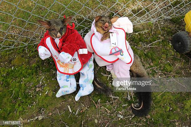 Two dead possum's are dressed in baby's clothes during the Uruti School competition for best dressed possum as part of a fundraiser on July 29 2012...
