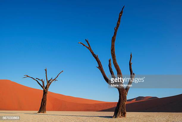Two dead trees with red orange sand dune