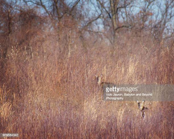Two Deer Camouflaged in the Grass