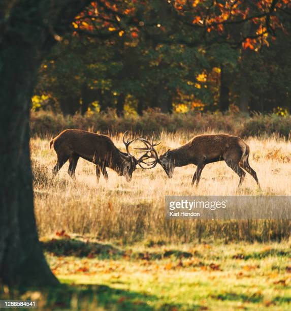 two deer fighting during the rut in a london park - stock photo - deer stock pictures, royalty-free photos & images