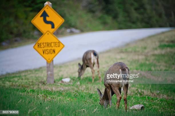 Two deer graze by the roadside