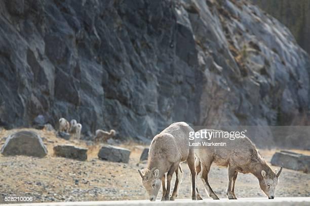 two deer grazing - leah wilde stock-fotos und bilder