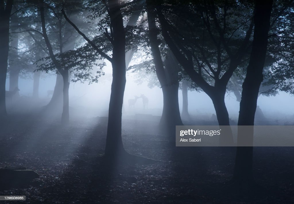 Two deer in an misty forest. : Stock Photo
