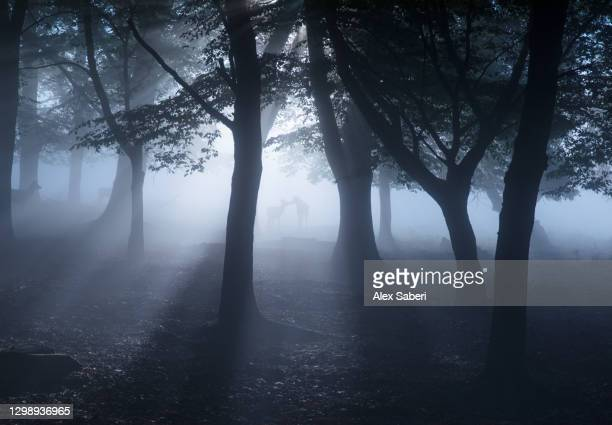 two deer in an misty forest. - alex saberi stock pictures, royalty-free photos & images