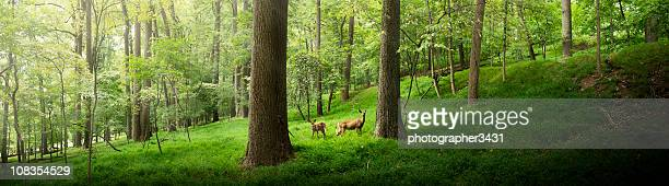 Two deer in the forest