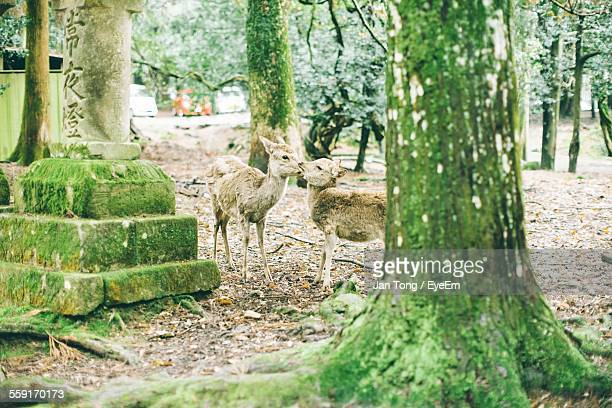 Two Deer In Zoo