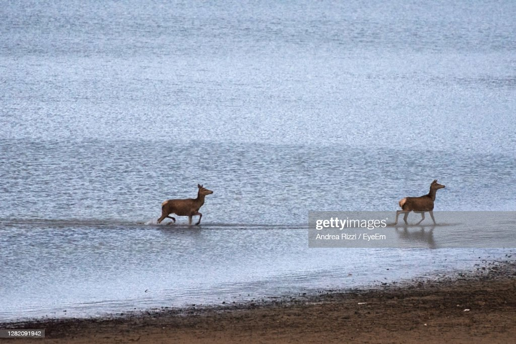 Two Deer On The Beach Of Lake Barrea : Foto stock