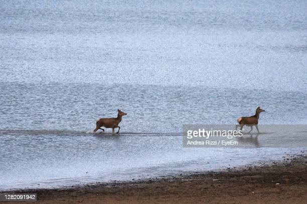two deer on the beach of lake barrea - andrea rizzi stock pictures, royalty-free photos & images
