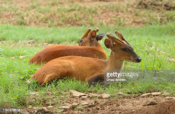 Two Deer On The Grass