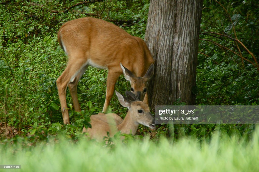 Two Deer : Stock Photo