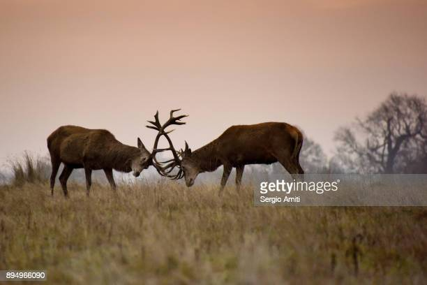 two deer rutting in richmond park - red deer animal stock pictures, royalty-free photos & images
