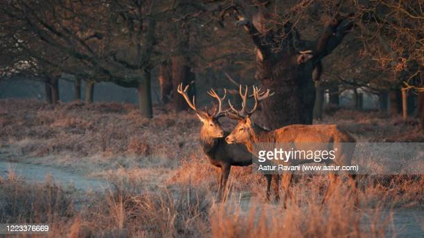 two deers in richmond park - deer stock pictures, royalty-free photos & images