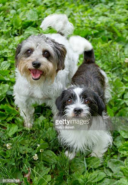 two designer breed dogs - maltese cross stock photos and pictures
