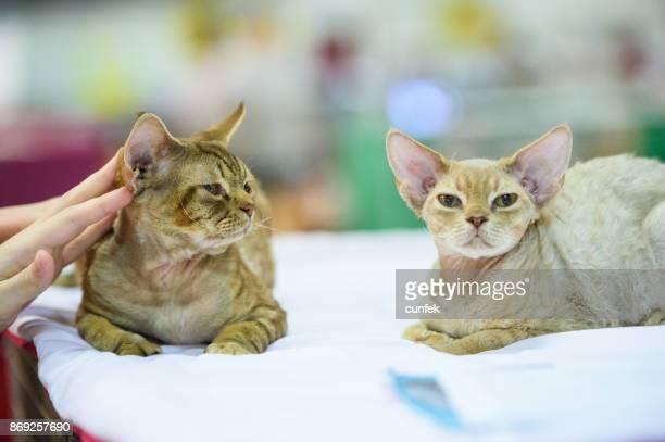 Two Devon Rex cats