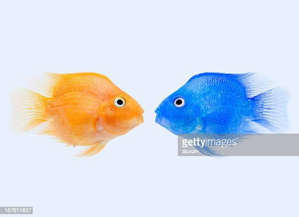 two different coloured tropical fish confronted - fish love stock photos and pictures