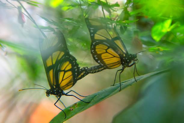 Two Dircenna dero butterflies on a leaf, Iguazu, Brazil