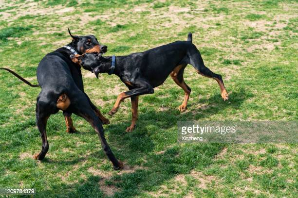 two doberman dogs fighting on the grass - dogs tug of war stock pictures, royalty-free photos & images