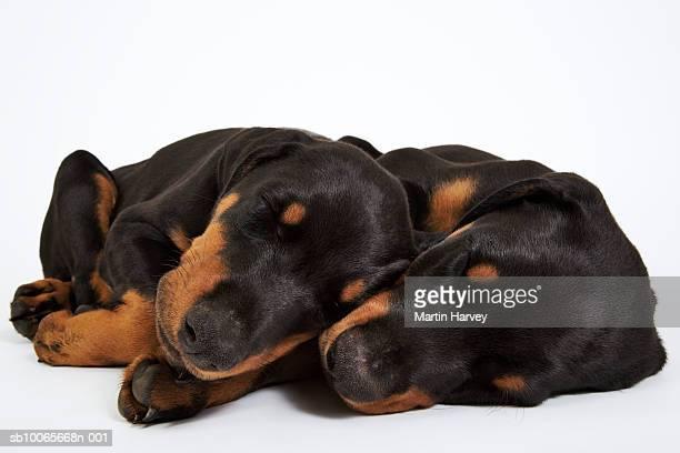 two doberman puppies sleeping on white background - dobermann stock-fotos und bilder