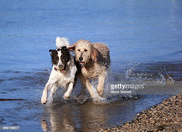 Two dogs a Golden Doodle and a Border Collie mix play in the water on the north shore of Long Island at Coindre Hall on April 21 2014 in Huntington...
